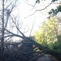 Fallen Oak, Wadhurst