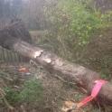 Pulling Fallen Oak from pond